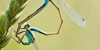 image: Image of the Day: Acrobatic Damselflies
