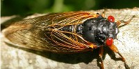 image: The Cicadas Are Coming