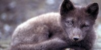 image: Arctic Foxes Suffer from Seafood Diet