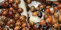 image: Ladybird Bioterrorists