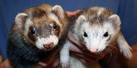image: H7N9 Bird Flu Spreads Between Ferrets