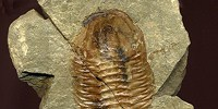 image: Image of the Day: Ancient Marine Arthropod