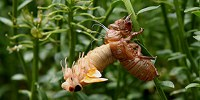 image: How Do Cicadas Know When to Emerge?