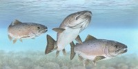 image: GM Salmon and Wild Fish Can Reproduce
