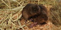 image: Epigenetics Play Cupid for Prairie Voles