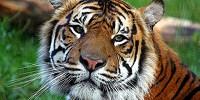 image: Dog Disease Threatens Tigers
