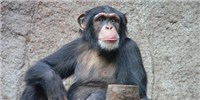 image: US Chimps May Get Endangered Status