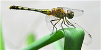 image: Image of the Day: Asian Dragonfly