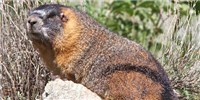 image: Meet the Marmots