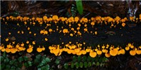 image: Image of the Day: Orange Pore Fungus