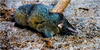 image: Another Super Shrew
