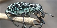 image: Image of the Day: Diamond Weevil