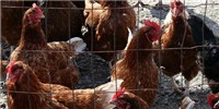 image: Bird Flu Spreads Between People