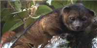 image: New Carnivorous Mammal Discovered
