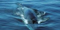 image: Cetacean Cacophony