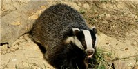 image: UK Badger Cull Begins