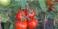 image: Opinion: Restoring Tomato Flavor