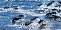 image: Virus Blamed for Dolphin Deaths