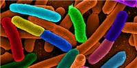 image: Gut Microbe Diversity, Weight Linked
