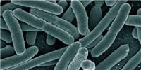 image: Obesity via Microbe Transplants