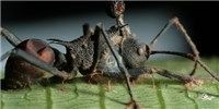 image: Image of the Day: Zombie Ant