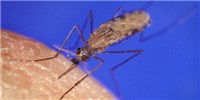 image: Male Mosquitoes Trigger Egg Production