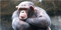 image: Chimp Retirement on Hold