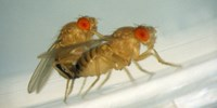 image: Frisky Fruit Flies