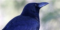 image: Birds Carry Resistant Bacteria