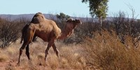 image: Camels the Link to MERS?