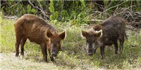 image: Virginia Targets Wild Pigs
