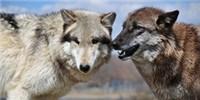 image: Wolfish Social Skills