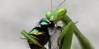 image: Image of the Day: Hungry Mantis