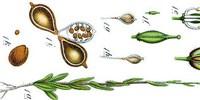 image: Transgenic Plant Produces Omega-3s