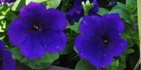 image: Petunia pH