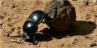 image: Dung Beetles Navigate by Sunlight