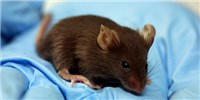 image: Common Lab Mice Differ