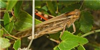 image: Gut Microbes Prevent Locust Swarms