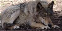 image: Dog-Wolf Split