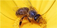 image: New Suspect in Bee Colony Collapse