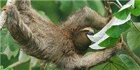 image: Moths Are a Sloth's Best Friend