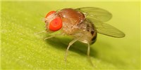 image: <em>Drosophila</em>'s New Genes
