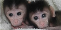 image: First CRISPR-Tinkered Primates Born