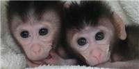 image: First CRISPR-Tinkered Primates Born