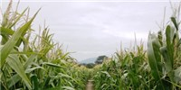 image: E.U. Pushes Forward With GM Corn