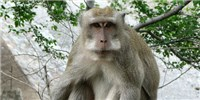 image: More Monkeys With Edited Genomes