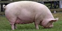 image: Not Swine Flu