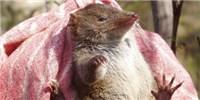 image: New Species of Randy Marsupials Discovered