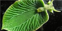 image: Image of the Day: Leafy Slug