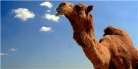 image: MERS Common in Camels